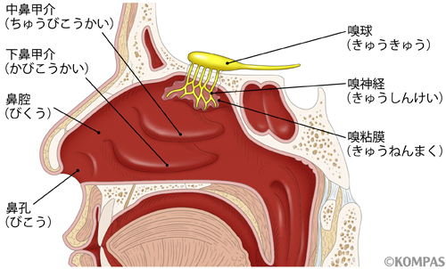 アレルギー性鼻炎による鼻づまりの図解
